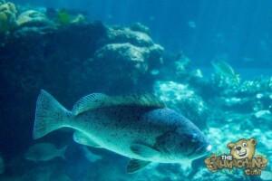 thekumachan_okinawa_aquarium-21