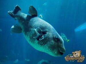 thekumachan_okinawa_aquarium-22