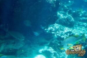 thekumachan_okinawa_aquarium-24