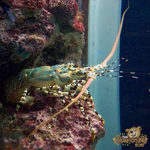 thekumachan_okinawa_aquarium-26