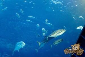 thekumachan_okinawa_aquarium-32